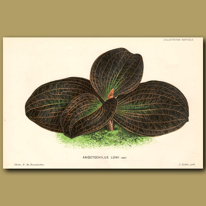Antique print. Orchid. Anoectochilus Lowi