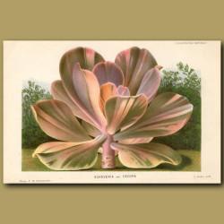 Succulent. Echeveria Var. Decora