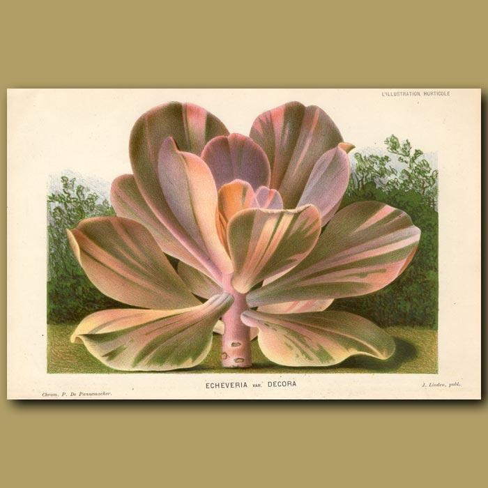 Antique print. Succulent. Echeveria Var. Decora