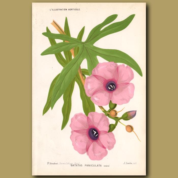 Antique print. Giant Potato Morning Glory. Batatas Paniculata