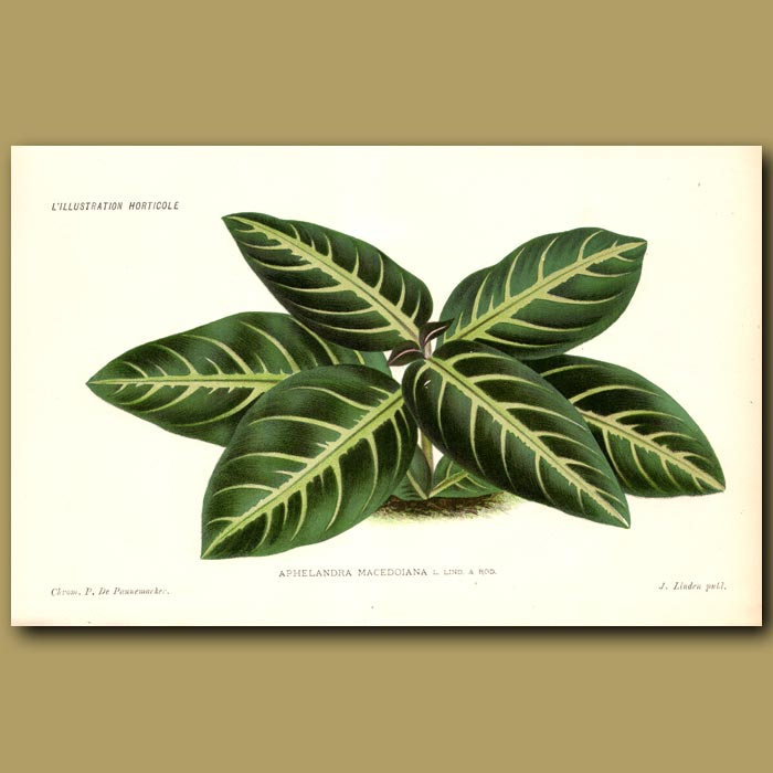 Antique print. Zebra Plant. Aphelandra Macedoiana