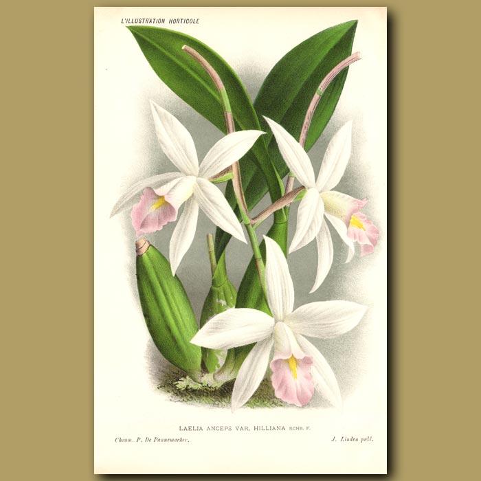 Antique print. Laelia Orchid. Laelia Anceps Hilliana