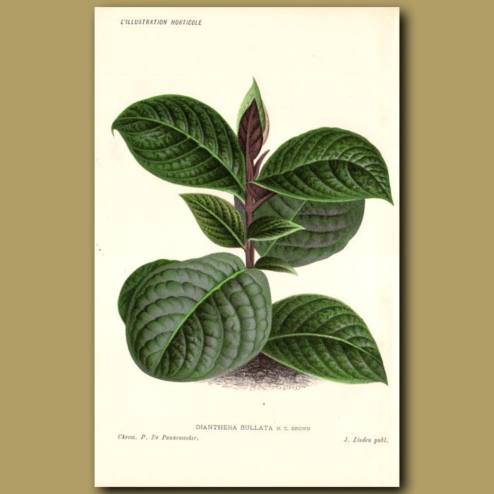 Antique print. Dianthera bullata