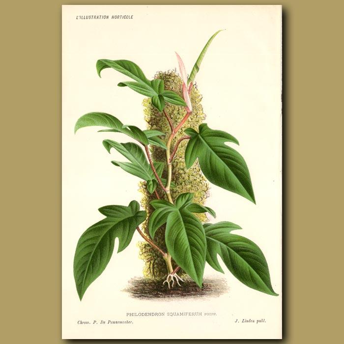 Antique print. Philodendron squamiferum