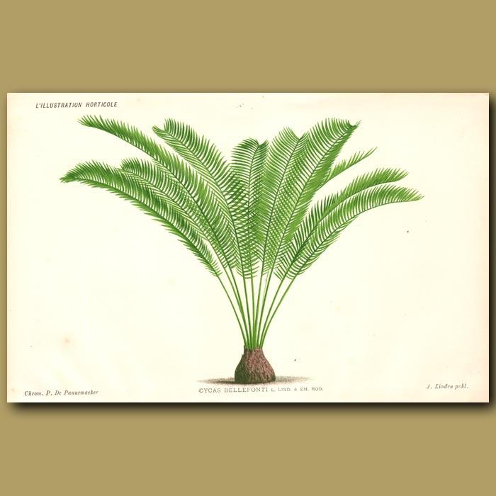 Antique print. Cycad. Cycas Bellefonti