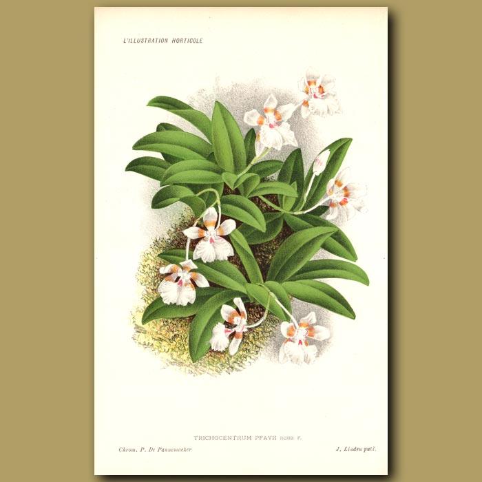 Antique print. Orchid. Trichocentrum Pfavii