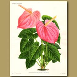 Flamingo Flower. Anthurium Reine Des Belges