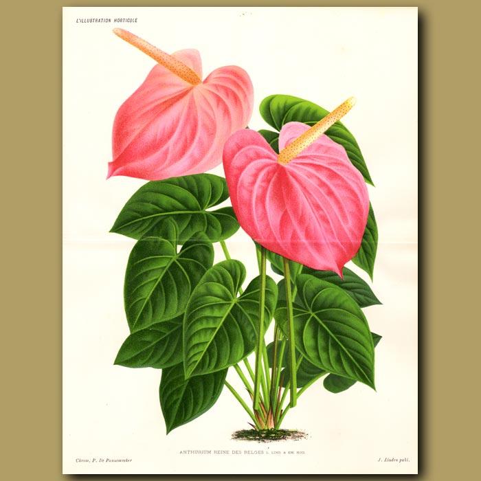 Antique print. Flamingo Flower. Anthurium Reine Des Belges