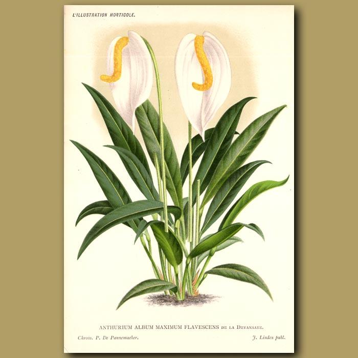 Antique print. Flamingo Flower. Anthurium album maximum flavescens