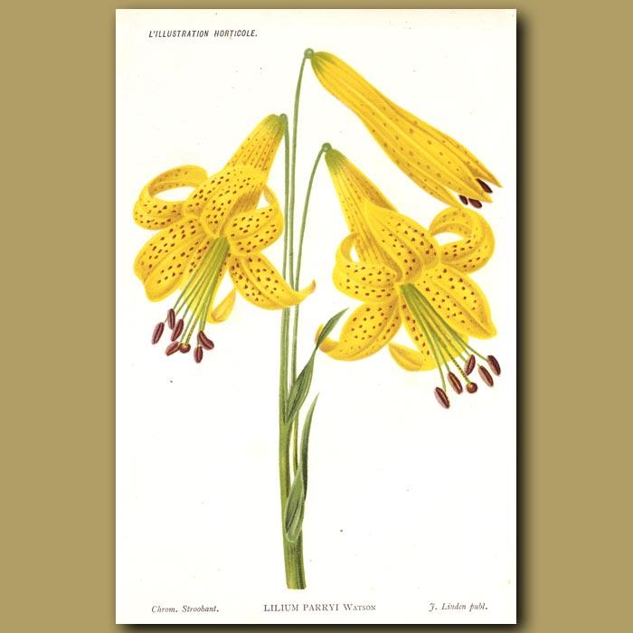 Antique print. Lemon Lily. Lilium Parryi