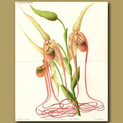 Mandarin Orchid. Selenipedium caudatu
