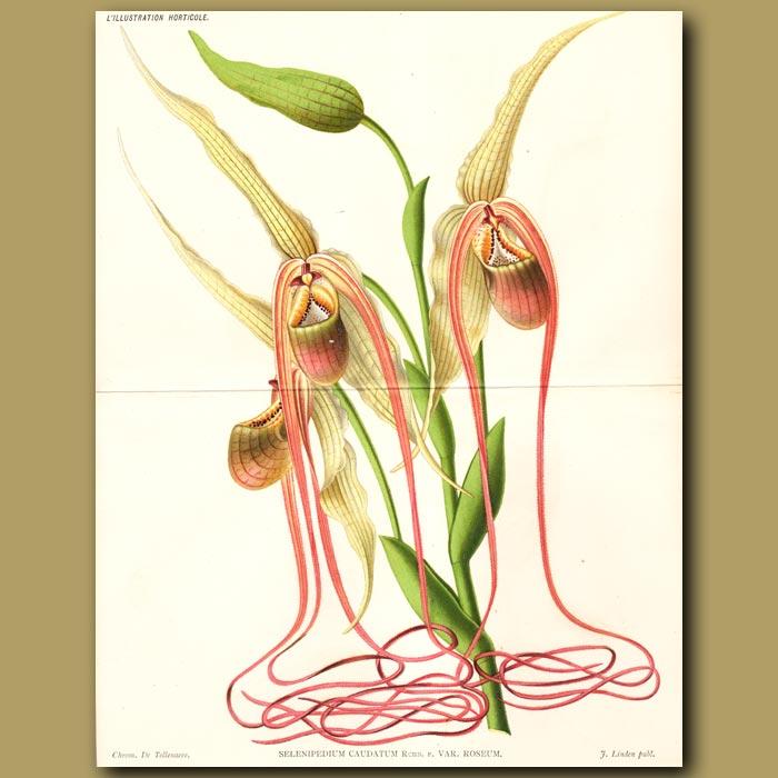 Antique print. Mandarin Orchid. Selenipedium caudatu