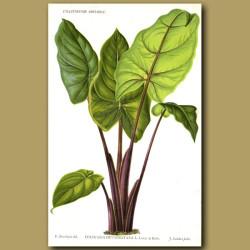 Colocasia Tropical Plant. Colocasia Devansayana
