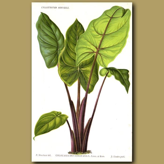 Antique print. Colocasia Tropical Plant. Colocasia Devansayana
