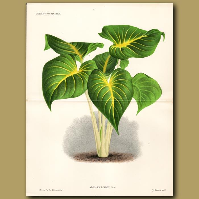 Antique print. Kris Plant. Alocasia Lindeni