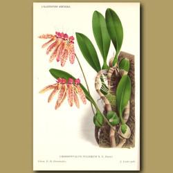 Bulbophyllum Orchid. Cirrhopetalum Pulchrum