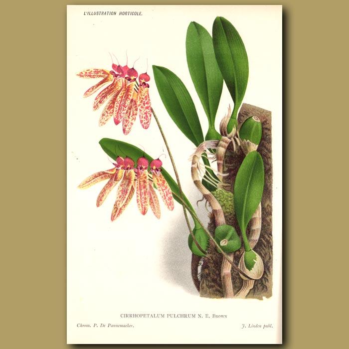 Antique print. Bulbophyllum Orchid. Cirrhopetalum Pulchrum