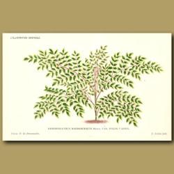 Japanese Angelica Tree. Dimorphanthus Var. Foliis Varieg