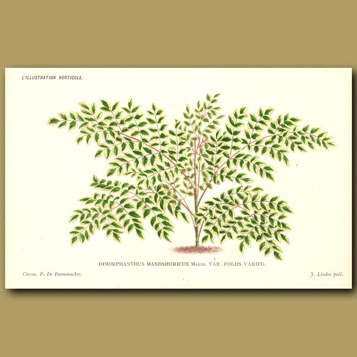Antique print. Japanese Angelica Tree. Dimorphanthus Var. Foliis Varieg