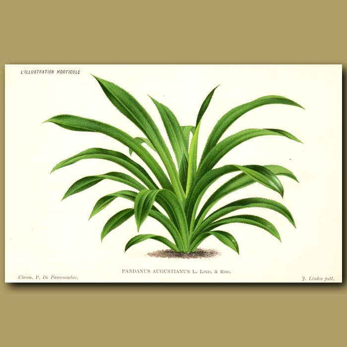Antique print. Pandanus or Screw Palm. Pandanus Augustianus