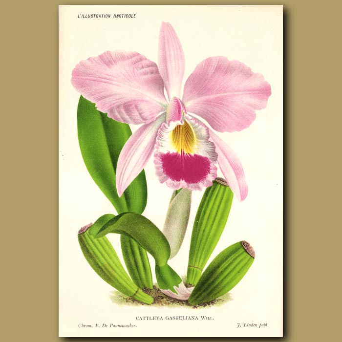Antique print. Gaskell's Cattley's Orchid. Cattleya Gaskeliana
