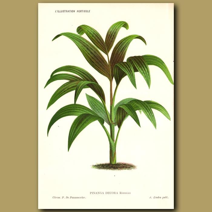 Antique print. Palm Tree. Pinanga Decor