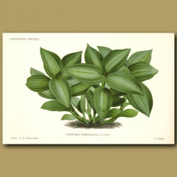 Jewel Orchid. Goodyera Rodigasian