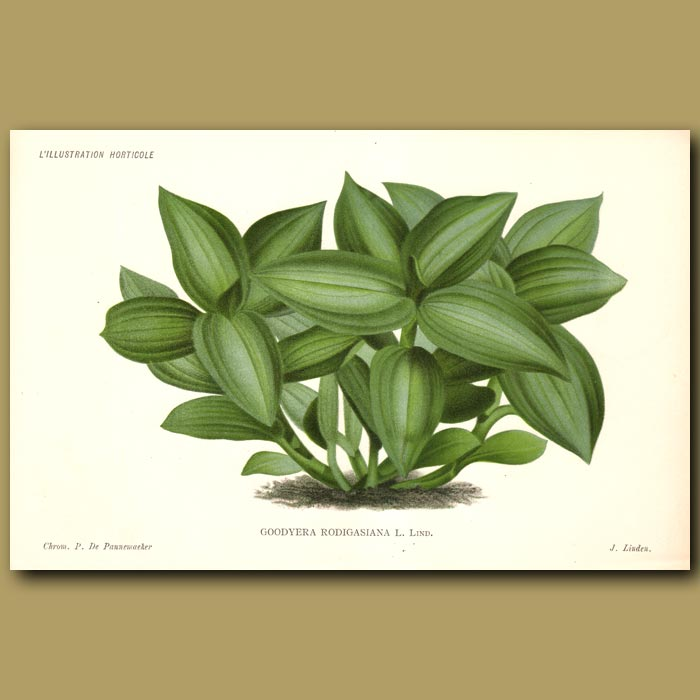 Antique print. Jewel Orchid. Goodyera Rodigasian