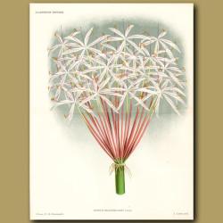 Crinum Lily. Crinum Hildebrandtii