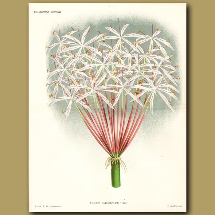 Antique print. Crinum Lily. Crinum Hildebrandtii