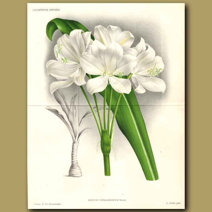 Antique print. Vanilla-scented Crinum Lily. Crinum Vanillodoru