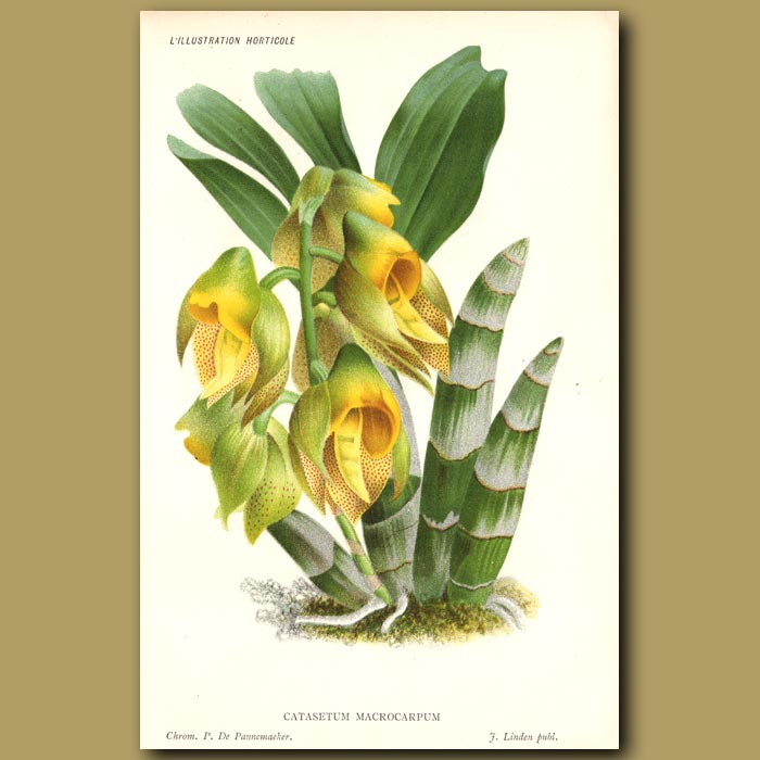Antique print. Monk's Head Orchid. Catasetum Macrocarpu