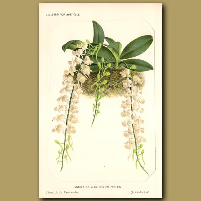 Antique print. Epiphytic Orchid. Angraecum Citratu