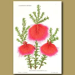 Swamp Bottlebrush. Beaufortia Splendens