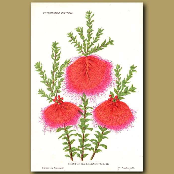 Antique print. Swamp Bottlebrush. Beaufortia Splendens