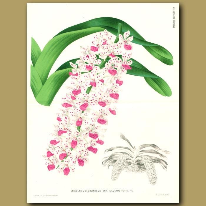 Antique print. Orchid Saccolabium Giganteum