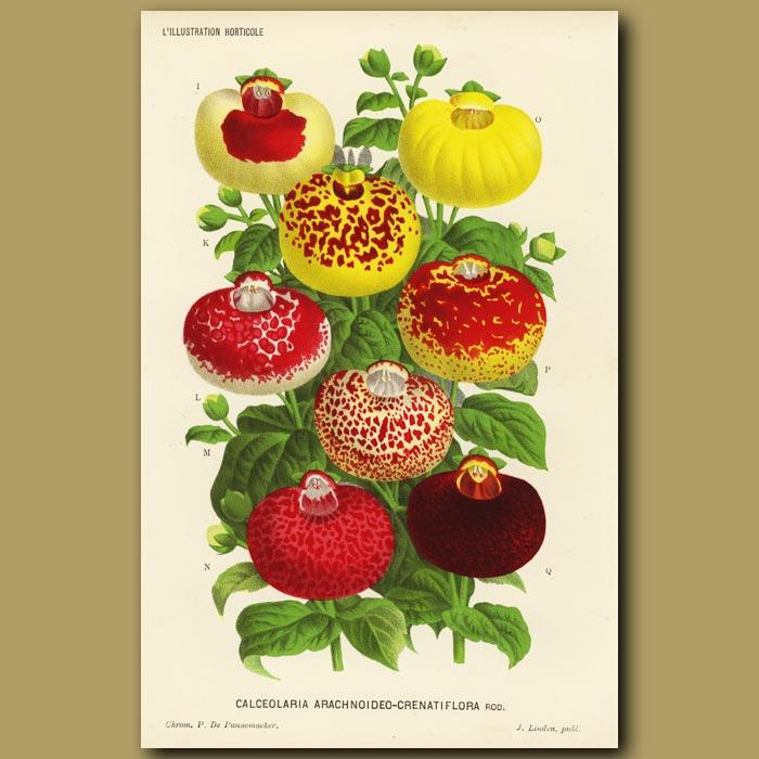 Antique print. Slipper flower