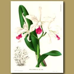 Orchid Laelia Elegans