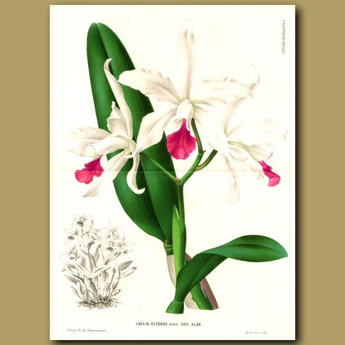 Antique print. Orchid Laelia Elegans