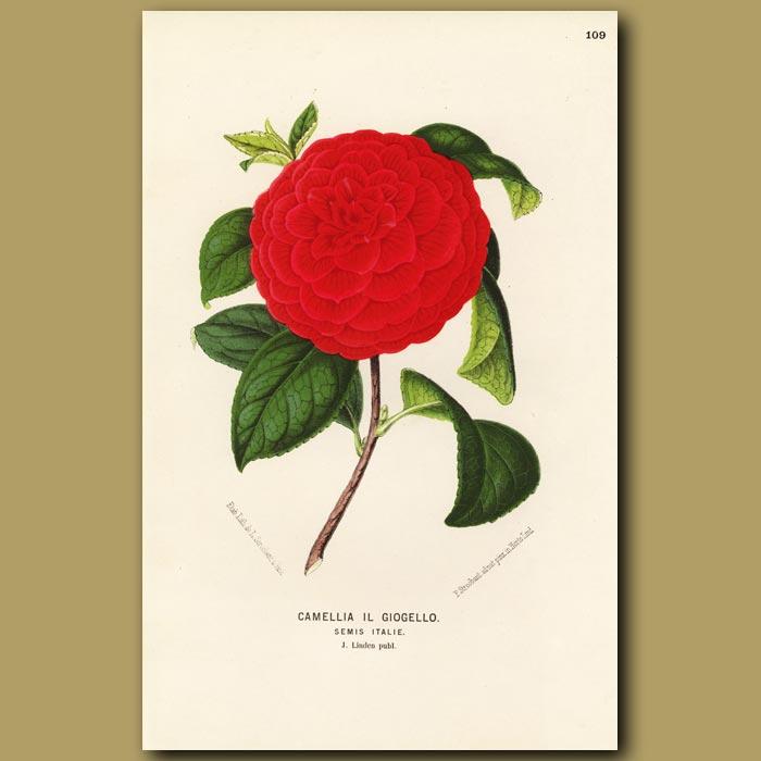 Antique print. Camellia Il Giogello
