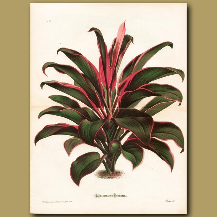 Antique print. Glorious Draceana (Dragon Tree)