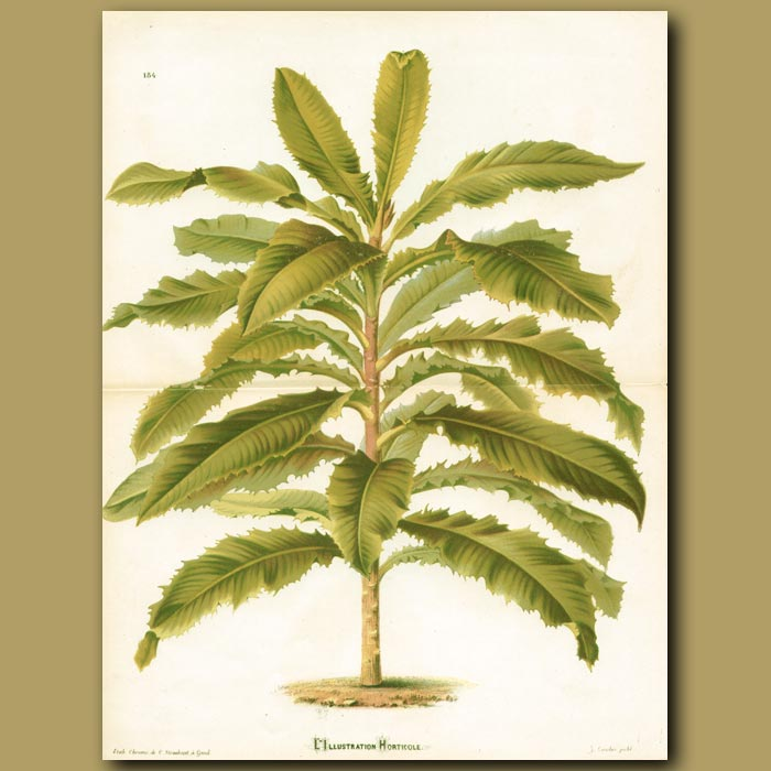 Antique print. Tropical plant (double sized print)