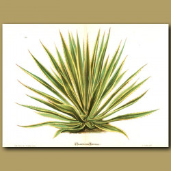Giant Agave (double sized print)