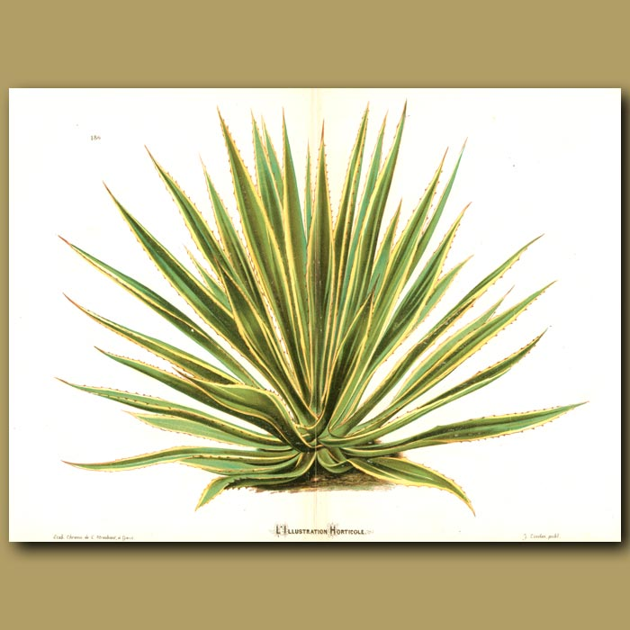 Antique print. Giant Agave (double sized print)