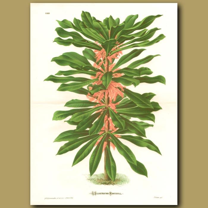 Antique print. Tropical shrub (double sized print)
