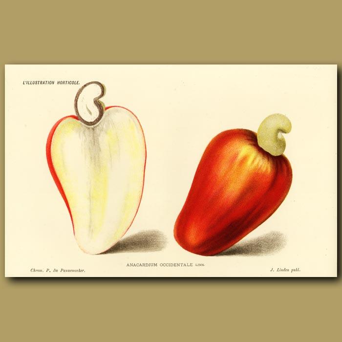 Antique print. Cashew apple