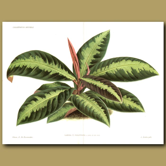 Antique print. Medicinal Tropical Plant (double sized print)