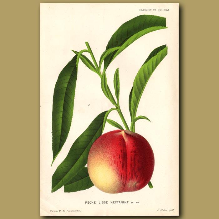 Antique print. Peach. Peche Lisse Nectarine