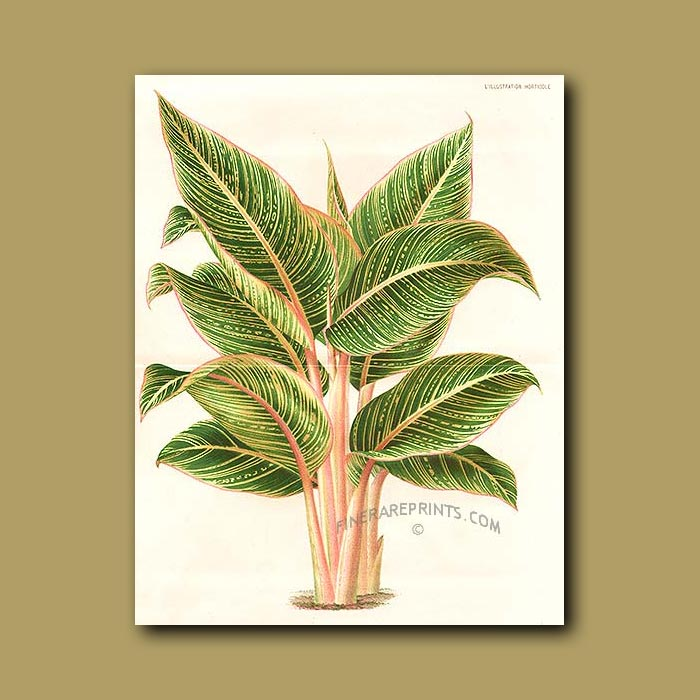 Antique print. Heliconia (double sized print)