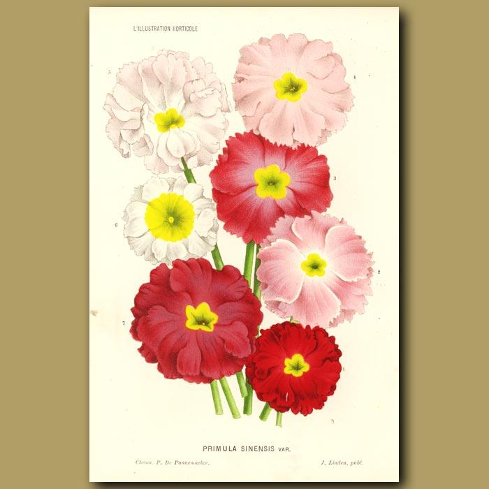Antique print. Primula flowers